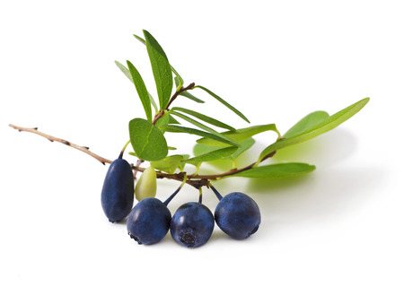 bog bilberry with leaves on a white background   Vaccinium uliginosum    Stock Photo