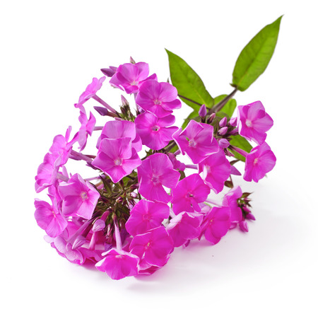 Beautiful bouquet of phlox on a white background