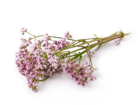 Valeriaan kruid bloem takjes op een witte achtergrond