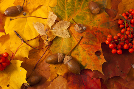 Autumn background with leaves, acorns, ashberry