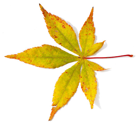 acer palmatum: Autumn japanese maple tree leaf (Acer palmatum) isolated on white background Stock Photo