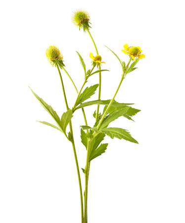 wild herbs: Wood avens (Geum urbanum) on white background