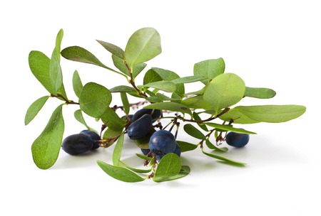 bog bilberry with leaves on a white background ( Vaccinium uliginosum ) Stock Photo