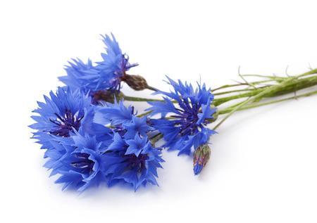 fiordaliso: Blu Fiordaliso - Centaurea su uno sfondo bianco Archivio Fotografico