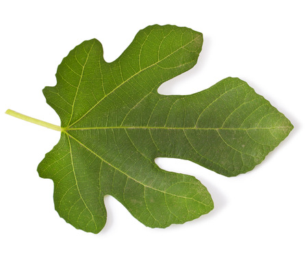fig leaf: fig leaf isolated on white Stock Photo