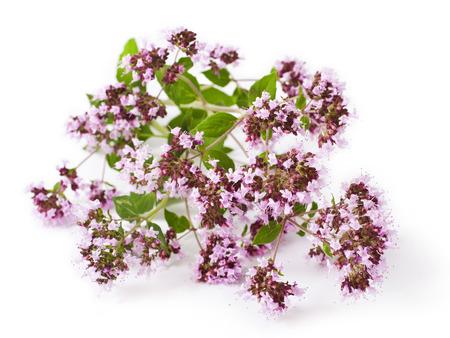 marjoram: Pink flower of origanum vulgare isolated on white
