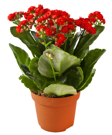 Kalanchoe bush in a plastic pot on white background