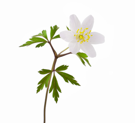 Wilde lentehout Anemoon (Anemone nemorosa) op een witte achtergrond Stockfoto