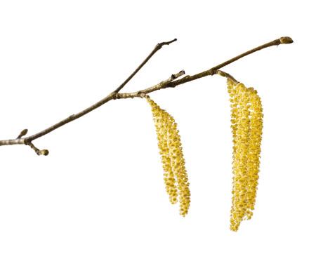 corylus: Hazel catkins isolated on white (Corylus avellana)