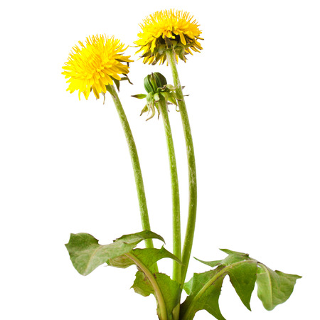 taraxacum: Flowers and a bud of dandelion (Taraxacum officinale), isolated on white background