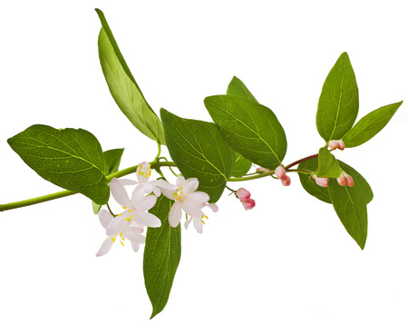 honeysuckle: Pink honeysuckle in blossom (Lonicera tatarica ) on white background