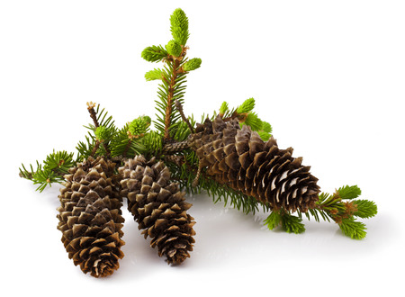 fir twig: Fir branch with cone on white background Stock Photo