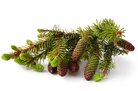 Fir branch with cone on white background Stock Photo