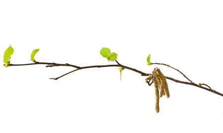 hazel: Hazel catkins isolated on white (Corylus avellana)