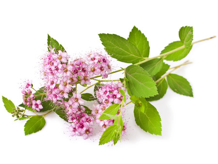 Branches of Shrubs Spiraea with fluffy pink flowers isolated on white background (Japanese spiraea)