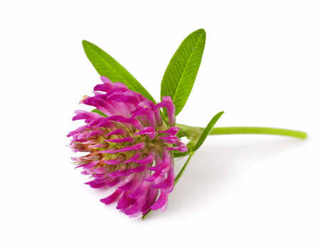pink clover flower tea isolated on a white Stock Photo