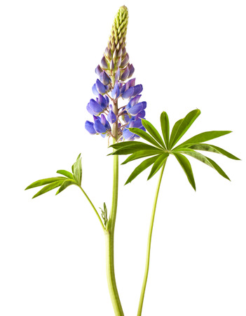lupine: Lupine flower on a white background