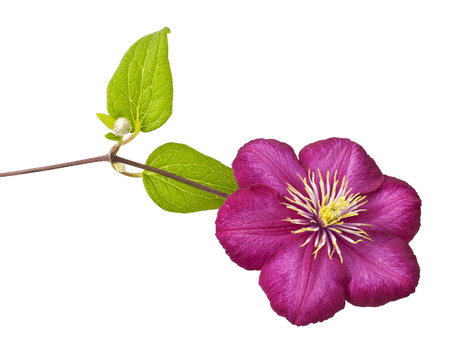 Pink clematis flower on white background