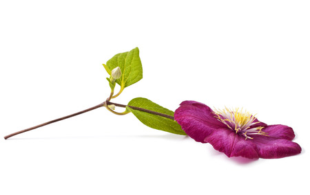 clematis flower: Pink clematis flower on white background