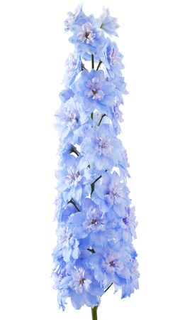 Blue delphinium flower with green leaves on white background Stock Photo