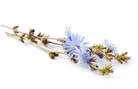 Blue flowers of chicory isolated on a white background. Cichorium intybus. Stock Photo