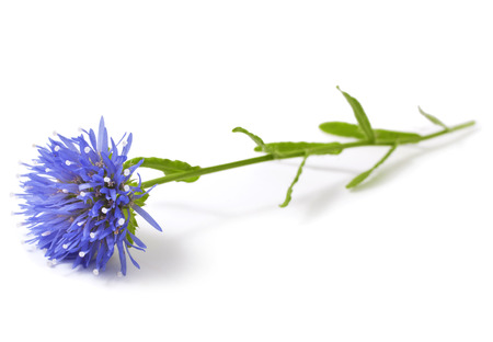 Eryngium. Blooming blue thistle isolated on white photo