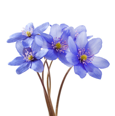 Hepatica nobilis on a white background. Spring flowers.