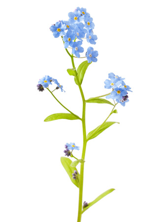 Spring flowers on a white background .Forgetmenot. Stock Photo