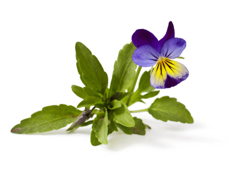 Pansy Violet with Green Leaves on White Background Viola