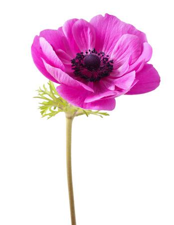 tallo: Anemone coronaria roja sobre un fondo blanco