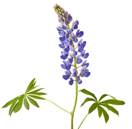 bluebonnet: Lupine flower on a white background