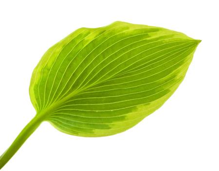 hosta: Hosta flower isolated on white Stock Photo