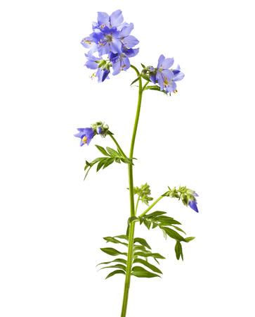 petunia wild: Jacob39s Ladder or Greek valerian Polemonium caeruleumisolated on white