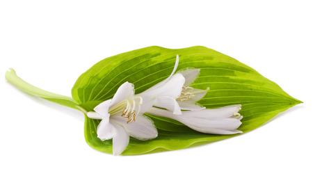 White Hosta flower isolated on white
