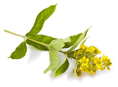 Yellow flower isolated on white background. Lysimachia Stock Photo