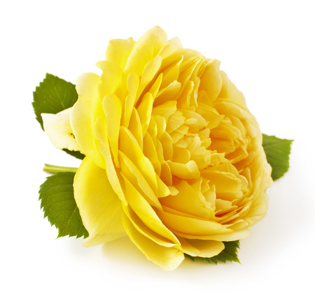 Yellow rose closeup isolated on white background
