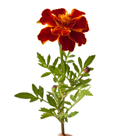 patula: Tagetes patula flower isolated on white background