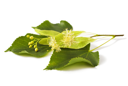 linden leaf with flowers isolated on white background Stock Photo
