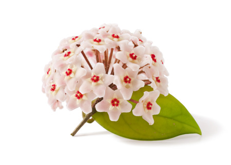 inflorescence of pink hoya carnosa Isolated on a white background