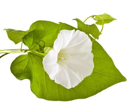 arvensis: Convolvulus arvensis flowers on white background