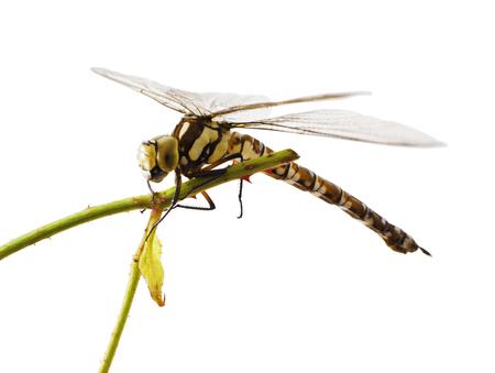 odonata: Dragonfly isolated on white background. Odonata