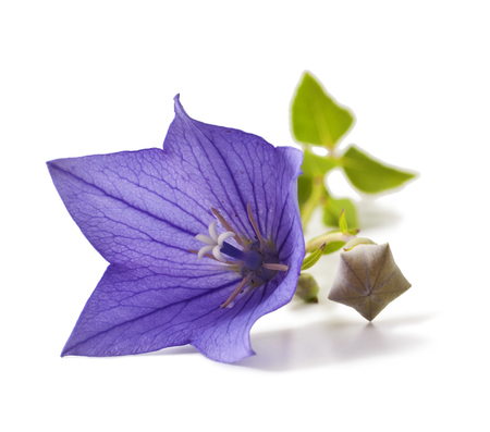 Purple flower bellflowers on white background. Campanula Stock Photo