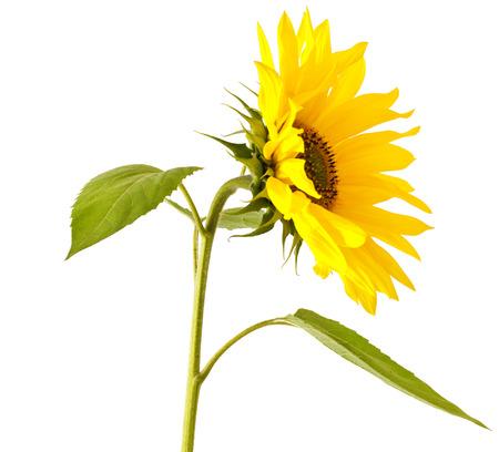 helianthus annuus: Beautiful yellow Sunflower on white background Helianthus annuus