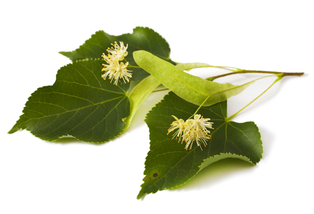 basswood: linden leaf with flowers isolated on white background Stock Photo