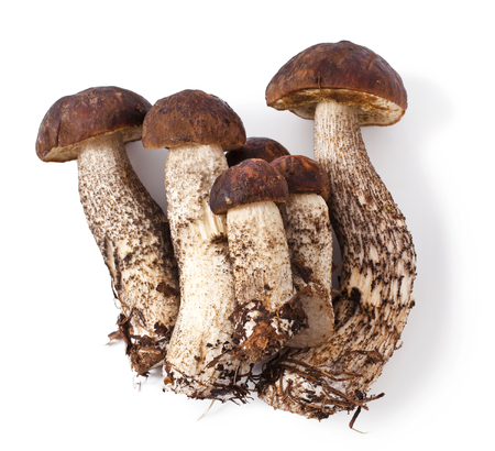 mushrooming: fresh mushrooms isolated on white background. Leccinum scabrum