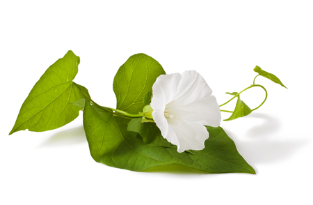 flourished: Convolvulus arvensis flowers on white background