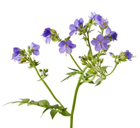 valerian: Jacobs Ladder or Greek valerian (Polemonium caeruleum) isolated on white