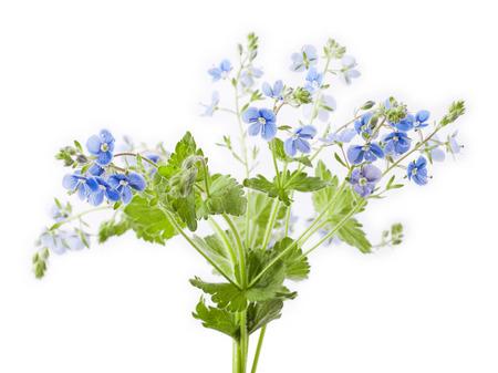 isolated flower: Veronica chamaedrys flower isolated on white background
