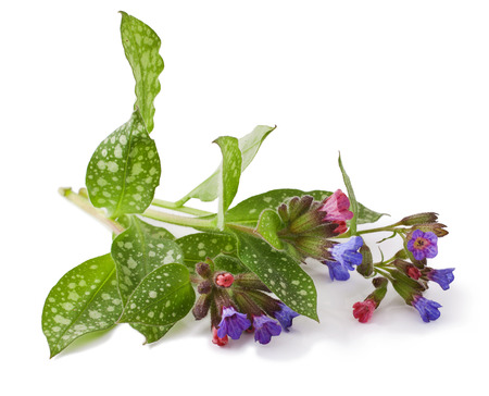 officinalis: Lungwort medicinal (Pulmonaria officinalis) isolated on white