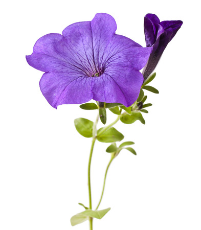 Purple flowers petunia isolated on white background Stock Photo